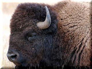 bison-1344761_960_720.jpg